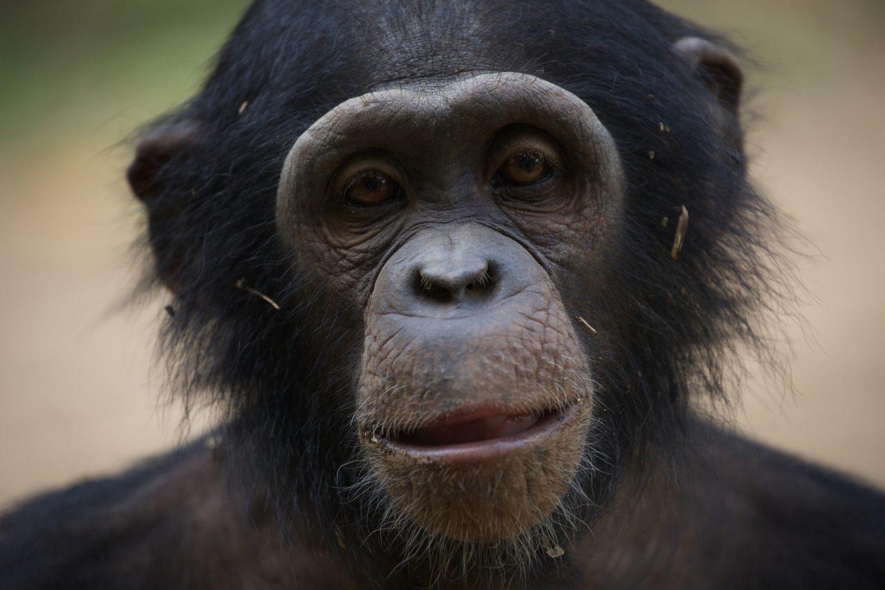 Chimp photographic print by Jacha Potgieter