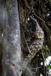 Black bellied pangolin photo by Jacha Potgieter