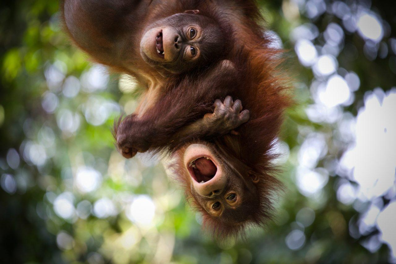 Orangutan photographic print by Jacha Potgieter