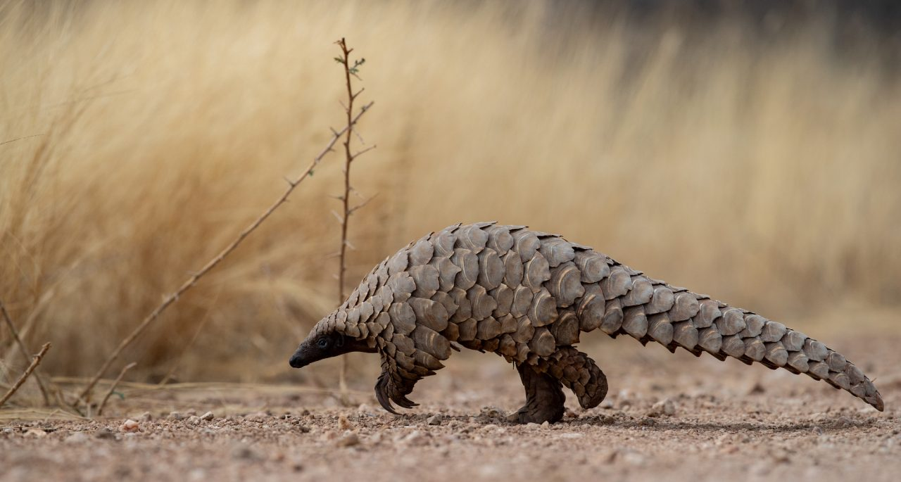 Temminck's ground pangolin photo by Jacha Potgieter