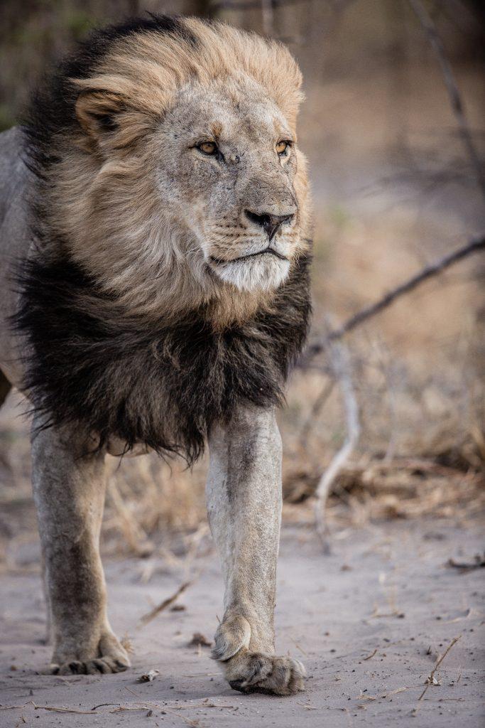 Lion photograph by Jacha Potgieter