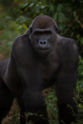 Gorilla photographic print by Jacha Potgieter