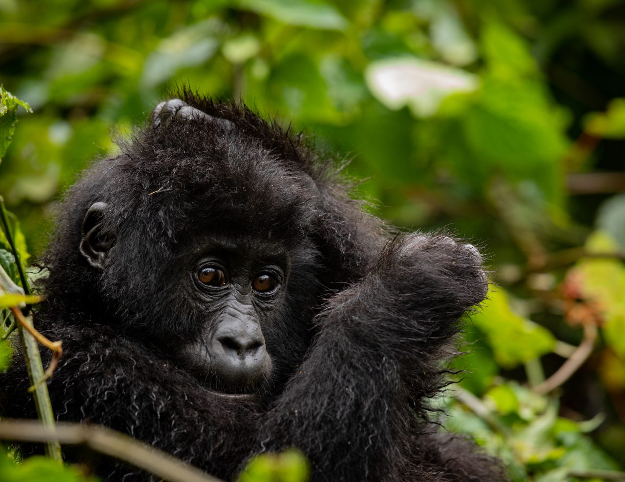Young Grauer's Gorilla photo by Jacha Potgieter