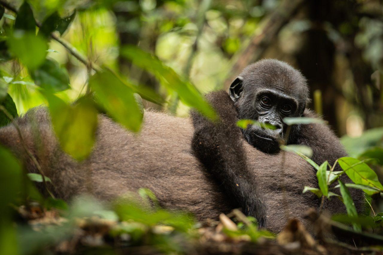 Gorilla photograph by Jacha Potgieter