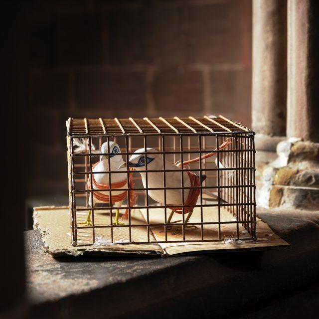 Bali Starlings – kept as pets